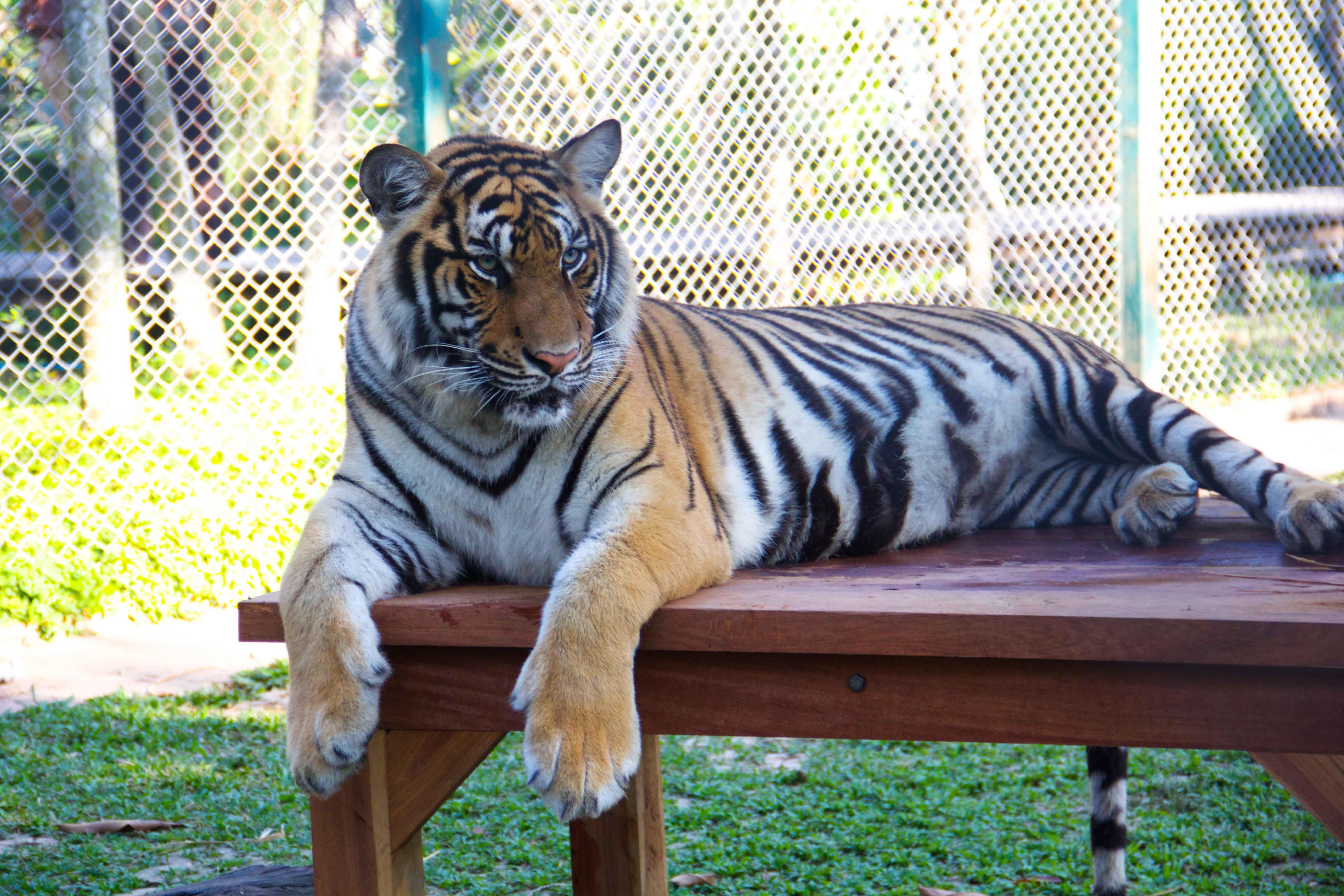 Tigers Small-12