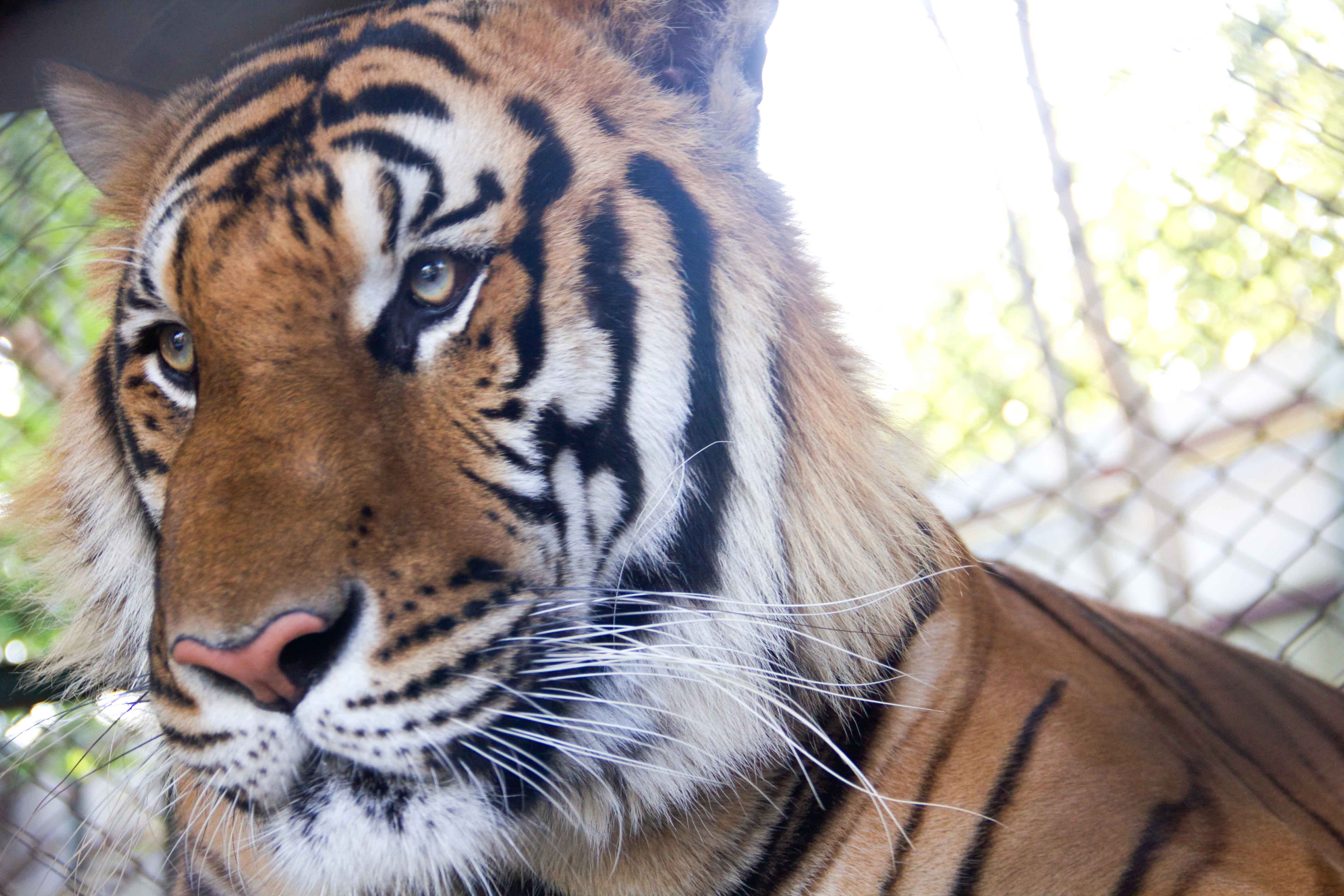Tigers Small-15