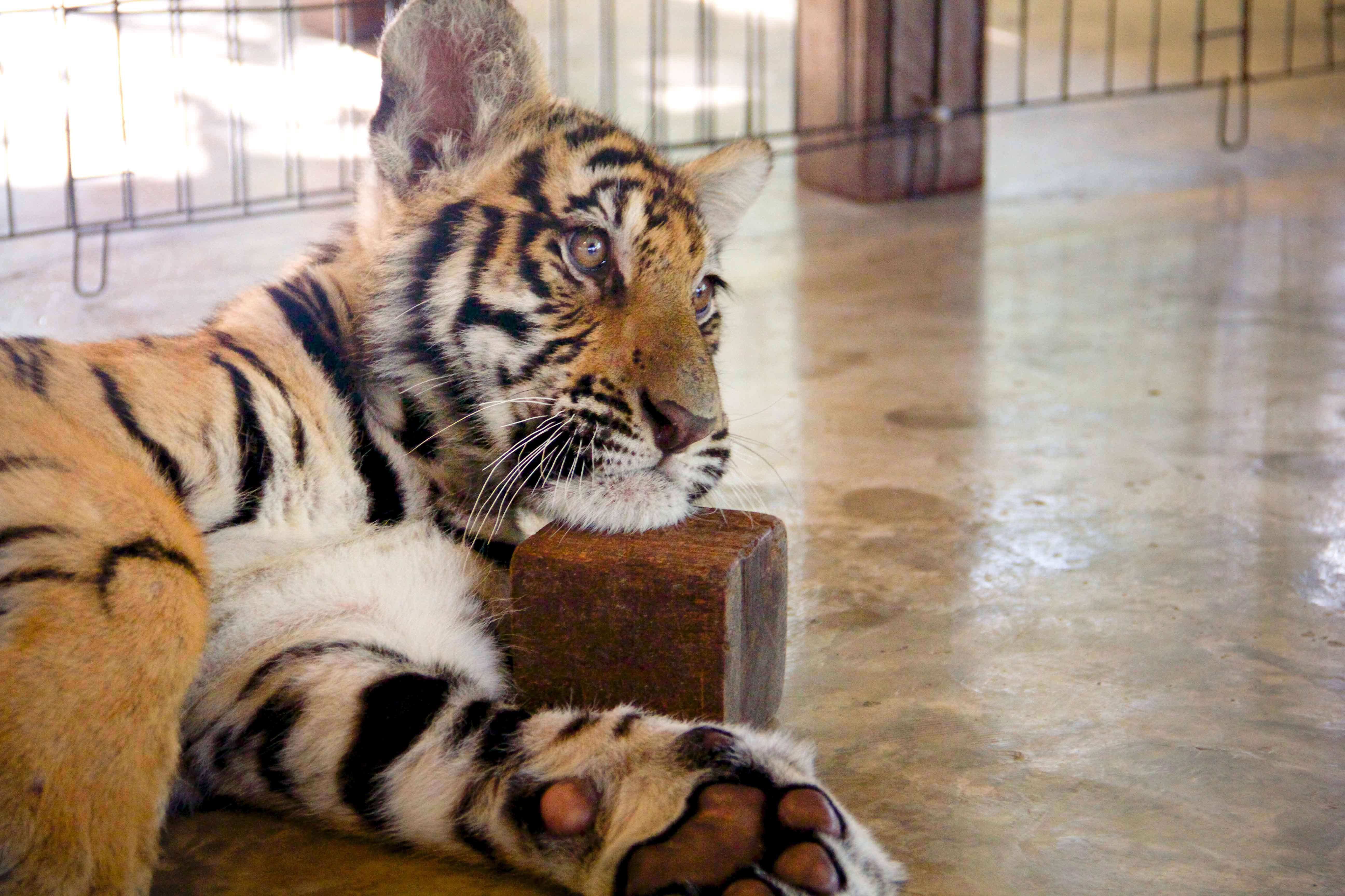 Tigers Small-4