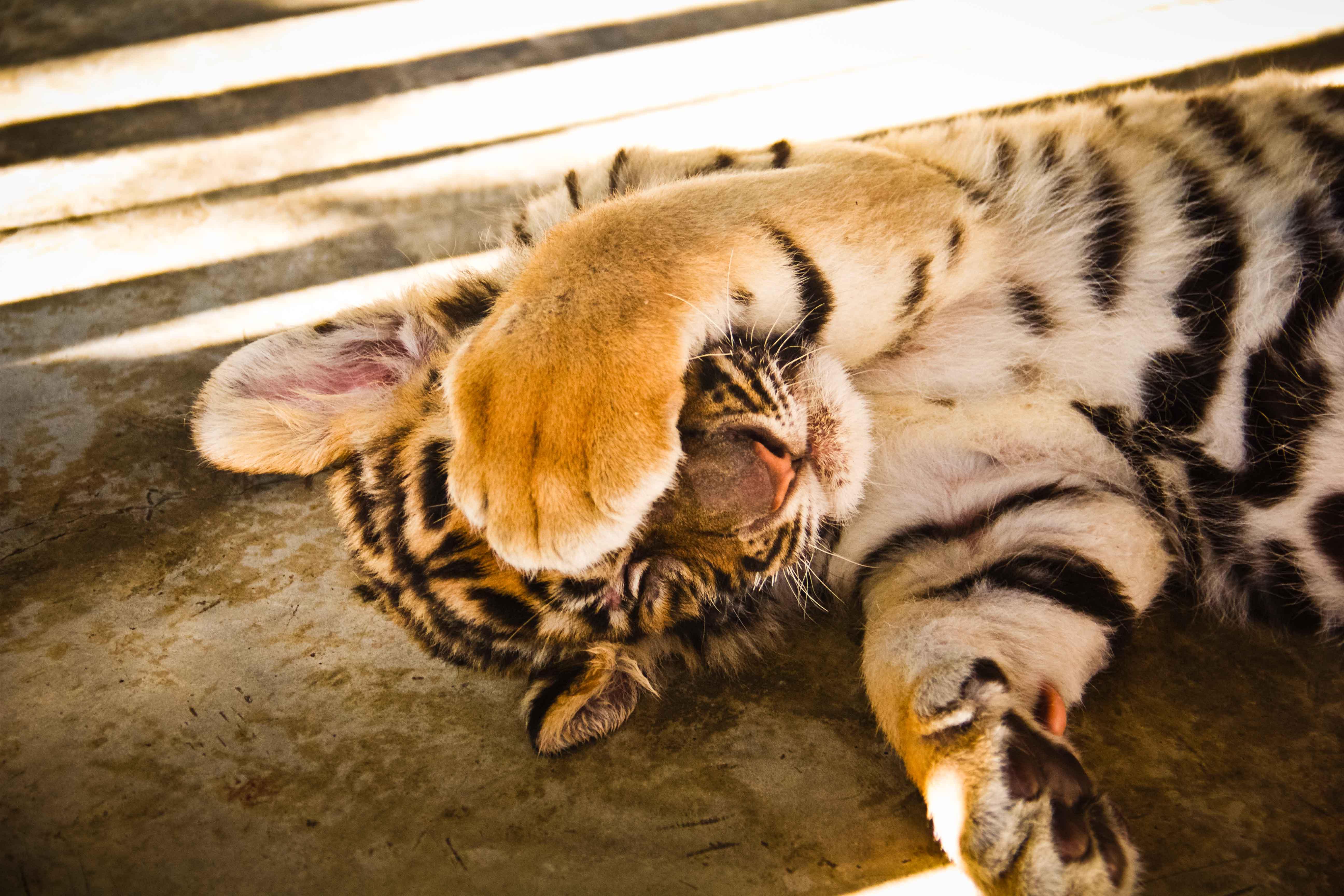 Tigers Small-5